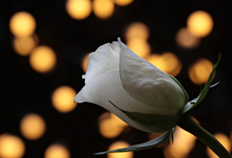 rose, bokeh, white rose